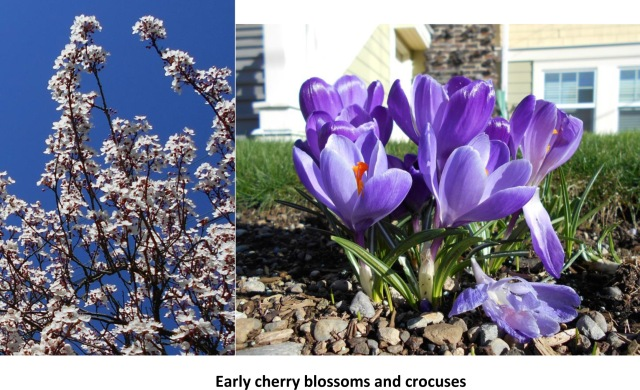 Early cherry blossoms and crocuses 2