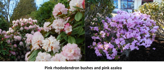 Early Pink rhododendron bushes and pink azalea