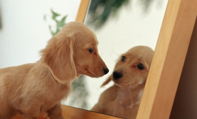 puppy looking in mirror